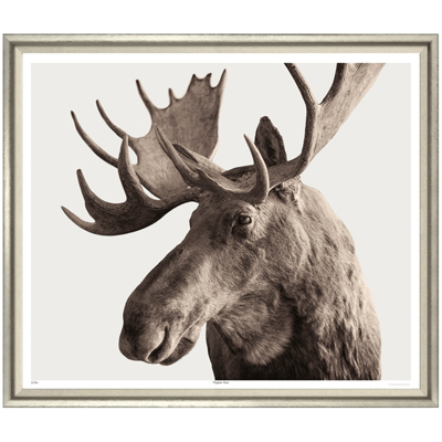 magnificent-moose-front1